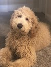F1bb Goldendoodle Temperament, Size, Lifespan, Adoption, Price