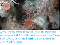 http://sciencythoughts.blogspot.co.uk/2018/02/antipathozoanthus-obscurus.html