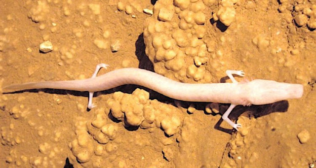 A particularly lazy cave salamander would have stayed in the same spot for 7 years