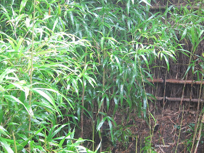 bamboo shoots and leaves
