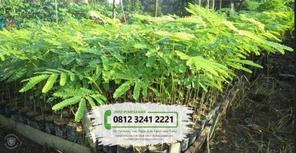 Jual Bibit Pohon Sengon Buto