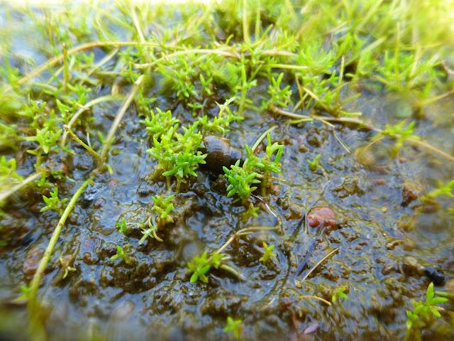 Vesikasveja märällä maalla