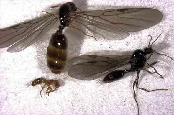 fire-ants-نمل-ناري