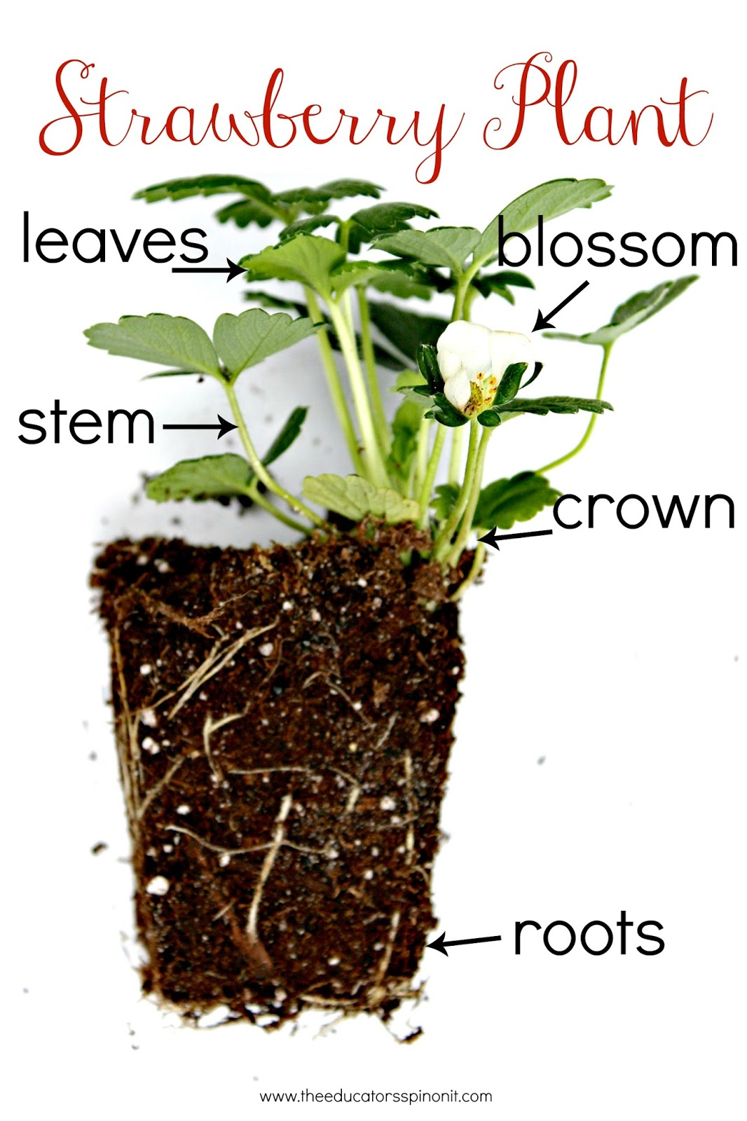Strawberry STEM Challenge A Garden Engineering Project for Kids