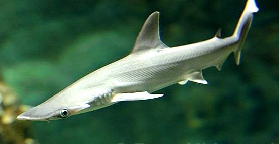 Tubarão vegetariano é nova bizarrice científica - Capa