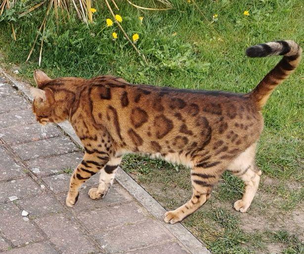Bengal cat Batty