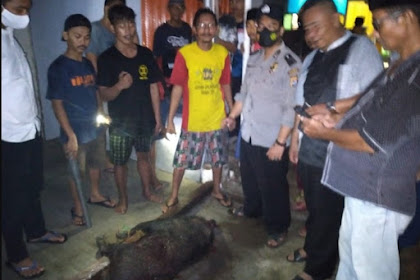 Babi Nyaris Masuk Rumah Anggota DPRD Provinsi Banten