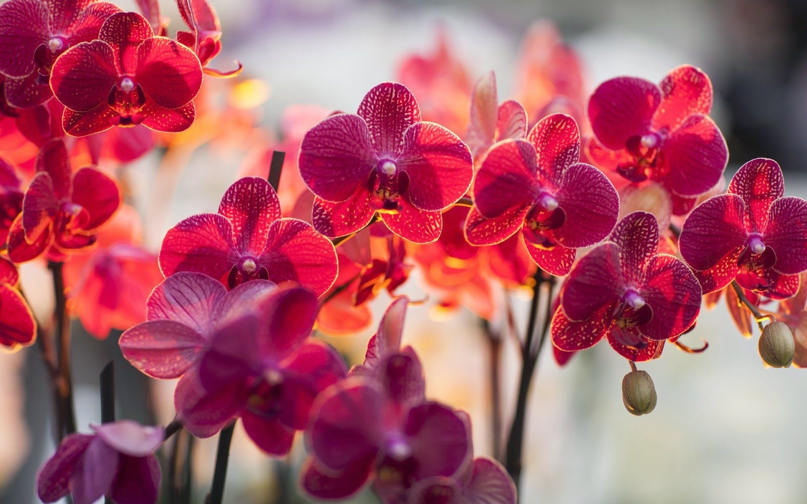 orchid wallpapers backgrounds images - photo #9