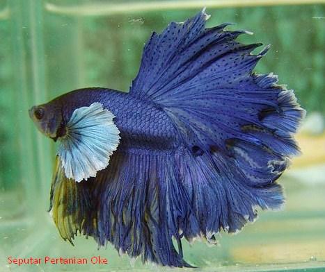 Cara Lengkap Budidaya Ikan Cupang Hias Terbaik - REFERENSI ...