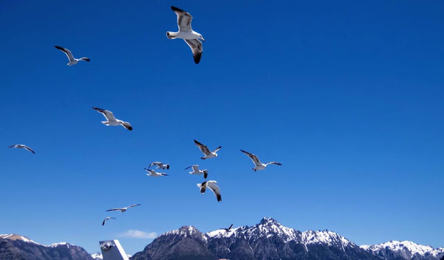Birds of Patagonia: Seagulls chasing a boat in Bariloche Argentina