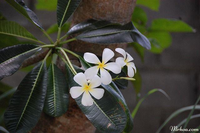 hoa sứ