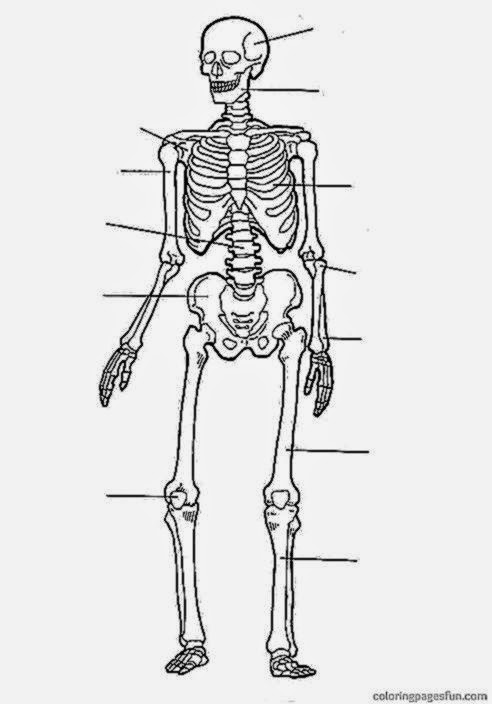 Human Anatomy Coloring Pages   Free Printable Coloring Pages