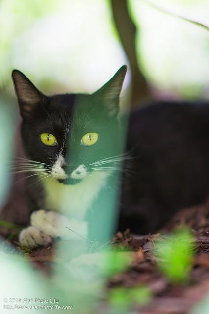 茂みに隠れている白黒の野良猫