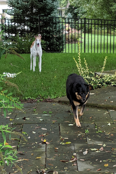 image of Dudley the Greyhound standing in the backyard, and Zelda the Black and Tan Mutt trotting toward me, both of them grinning
