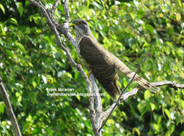 Large Hawk Cuckoo in Bidadari