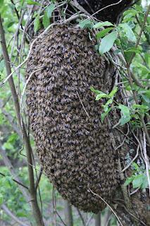 Une colonie en formation à Cheverny - abeilles