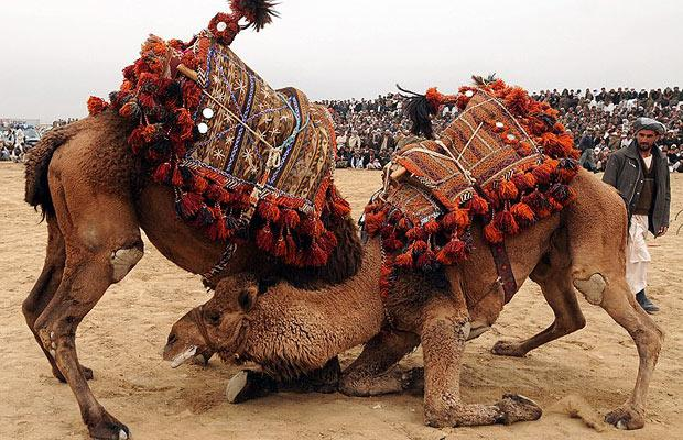 Amazing And Funny Camels Fight In Photos Funny And Cute