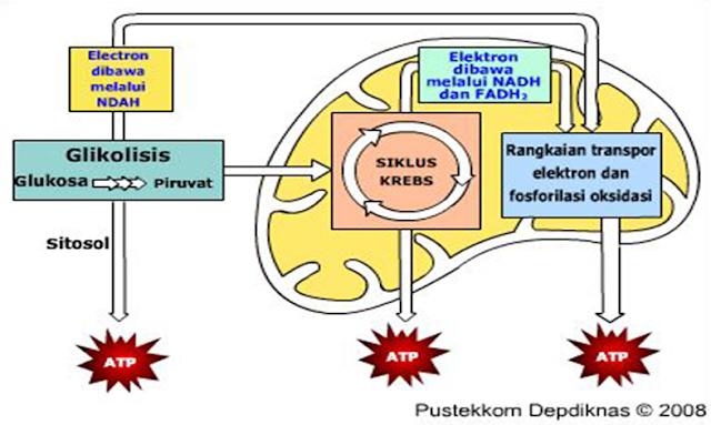 Proses katabolisme terdiri atas glikolisis, siklus krebs dan transpor elektron