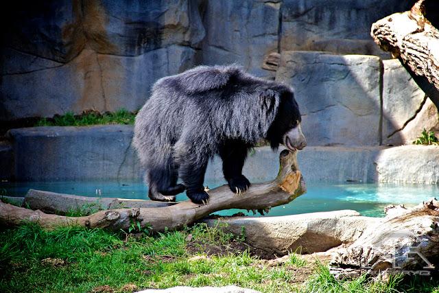 bear at Brookfield Zoo