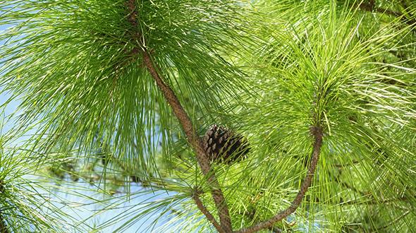 Fusiform rust disease easily colonizes slash pines