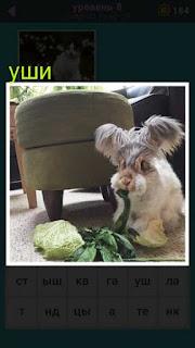 небольшое животное с необыкновенными лохматыми ушами ест капусту