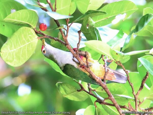 Bird in Waigeo island of Raja Ampat