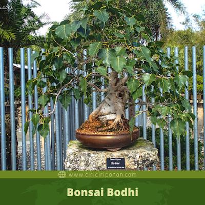 Bonsai Bodhi
