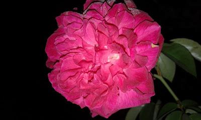 Bunga mawar di waktu malam