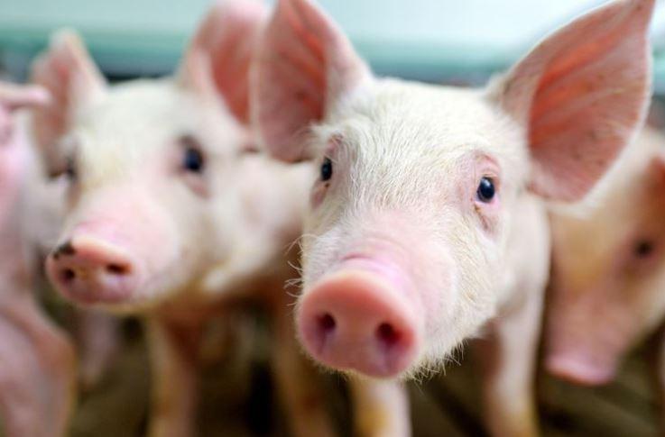 Babi di Sumut (MEDAN) Terancam Punah Karena Jumlah Kematiannya Terus Meningkat.