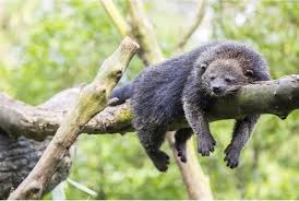Binturong: The tail can also catch things