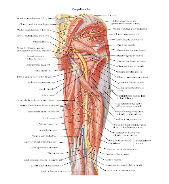 Arteries and Nerves of Thigh: Posterior View Anatomy