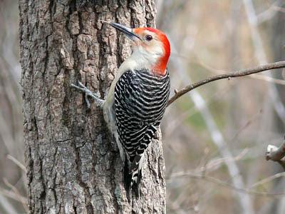 Photo of Red-bellied Woodpecker on tree trunk