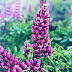 Lupine, benefits and its damage