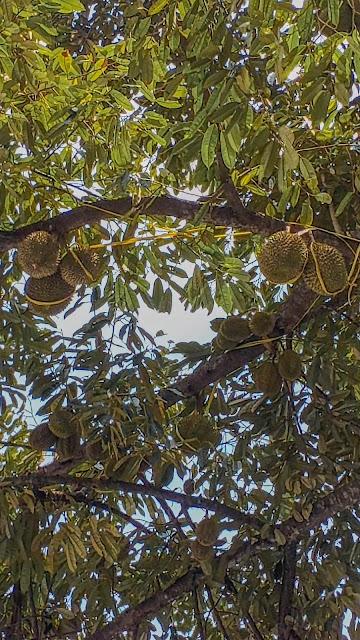 durian desa brongkol semarang