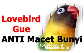 lovebird anti macet bunyi dan jarang berkicau