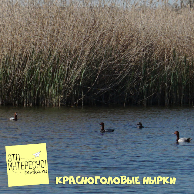 красноголовый нырок на озере Кызыл Яр, Крым