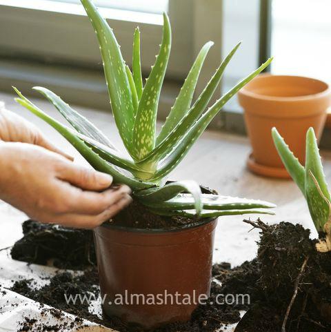زراعة الألوفيرا aloe vera grow