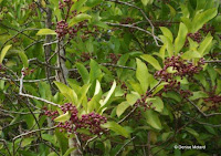 Purple berry clusters - Ho'omaluhia Botanical Garden, Kaneohe, HI