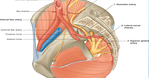 Human Anatomy Internal Iliac Artery And Pelvic Nerves Lecture Notes
