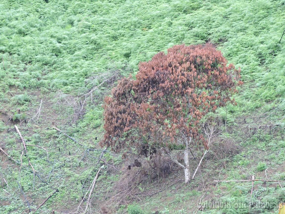Árbol que sobrevivió a la quema de un bosque