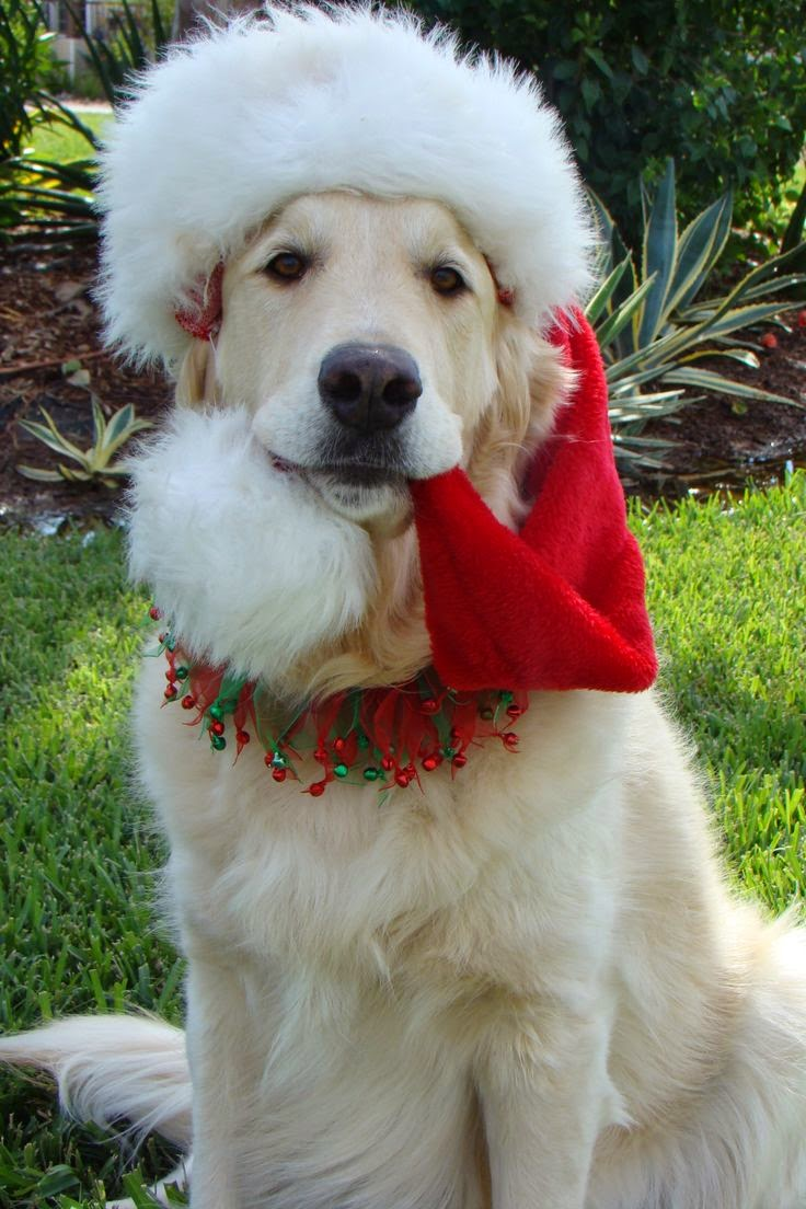 Cute White Golden Retriever is ready for Christmas