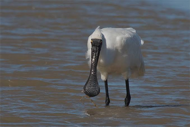 Royal Spoonbill,