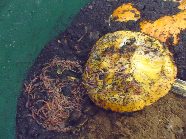 organic pumpkin in the worm wigwam