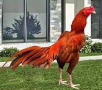 cara mudah beternak ayam bangkok aduan
