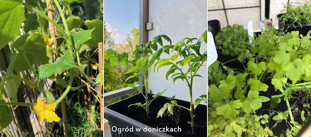 warzywnik w doniczkach, warzywnik w pojemnikach, ogród w doniczkach, warzywa w doniczkach, warzywa w pojemnikach