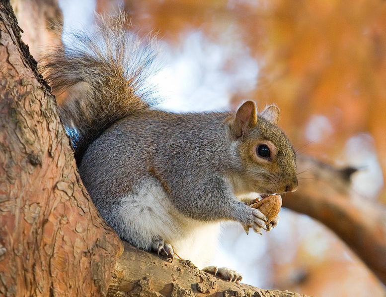 Mammals Animals: Eastern Grey Squirrel in St James's Park, London