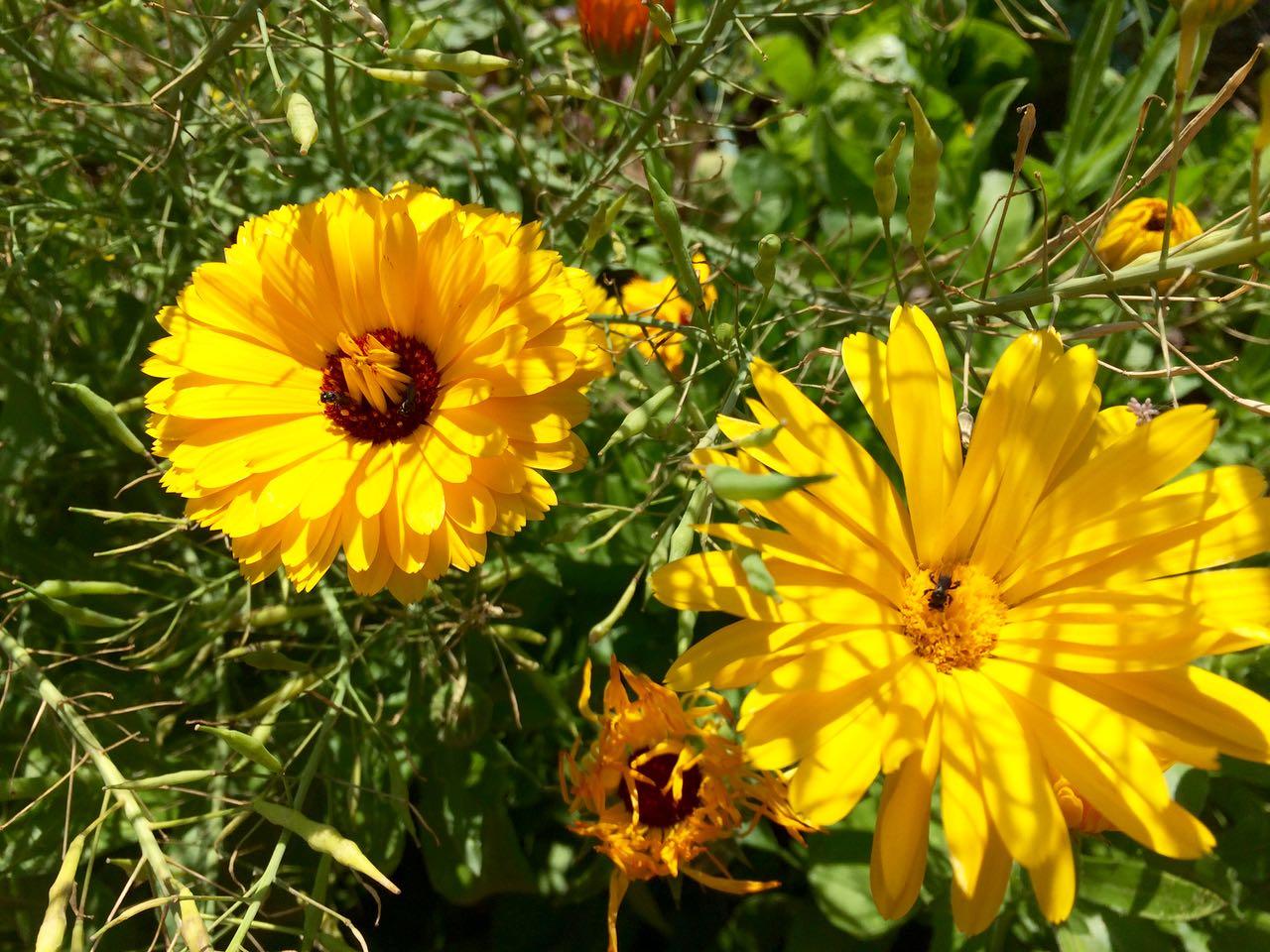 how to grow calendula officinalis