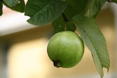 إمتيازات الجوافة للأطفال وظيفة بشكل كبير لهم