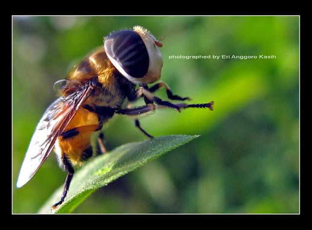 Foto makro lebah menggunakan Camera Canon PSA 700