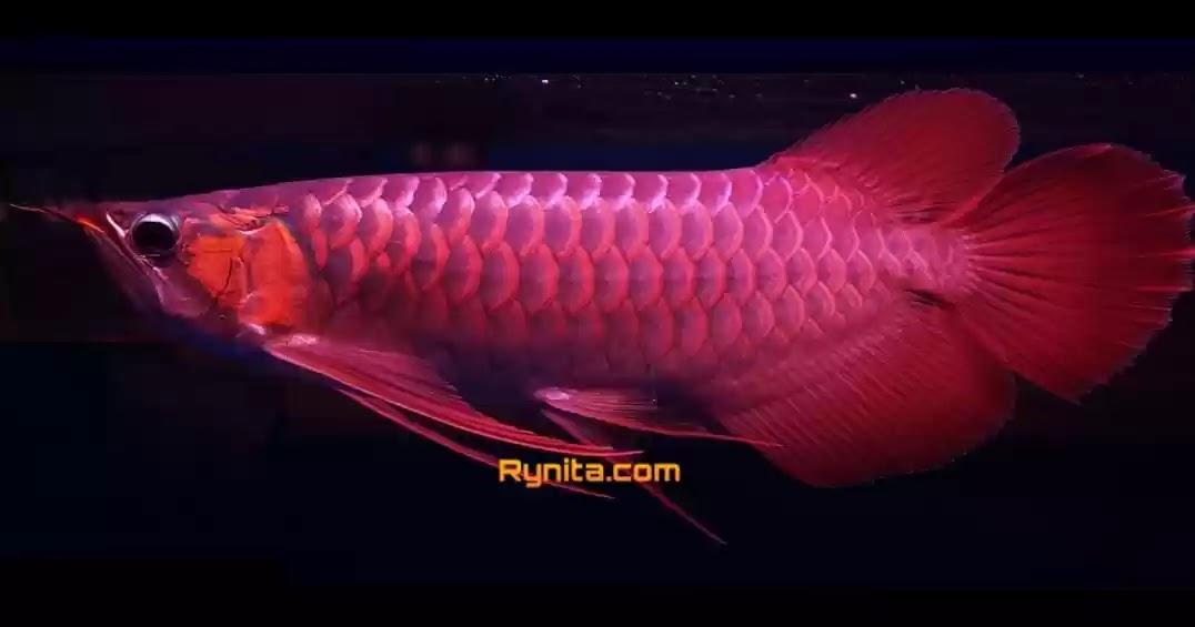 Ciri-ciri Ikan Arwana Stres